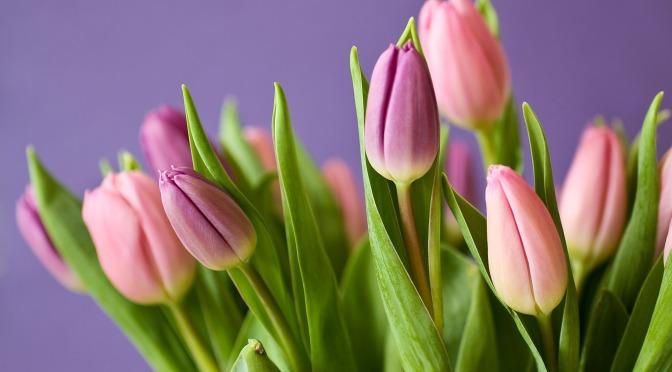 Un Tulipano l'8 marzo